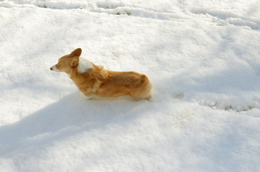 Corgi-walking-in-snow