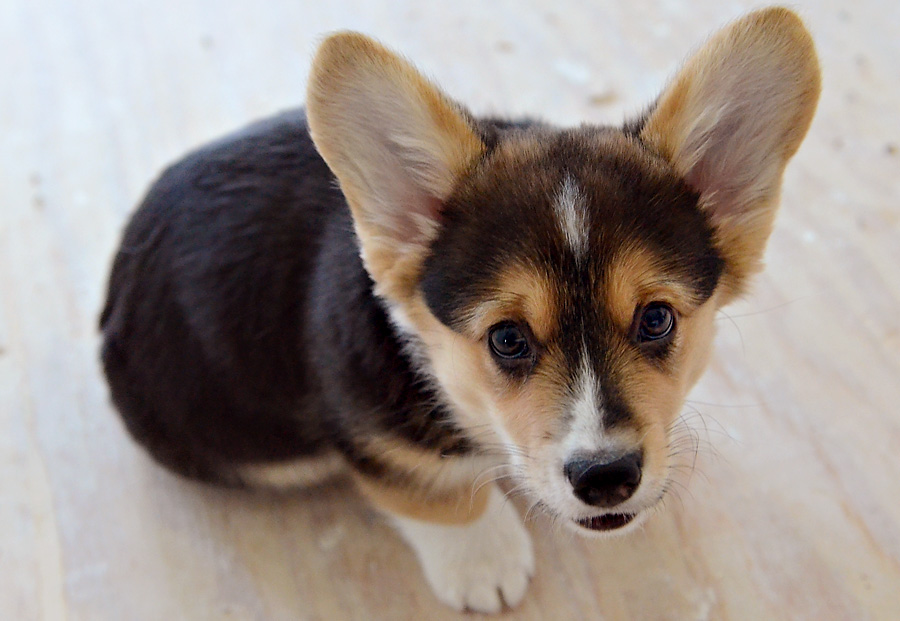 Dodger - Pembroke Corgi puppy - 10 weeks old