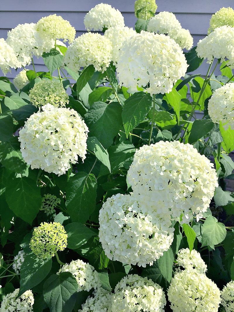 annabelle-hydrangea-blooms