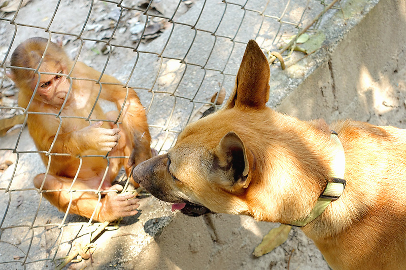 Thailand-WFFT-Monkey-Macaque-with-dog-01