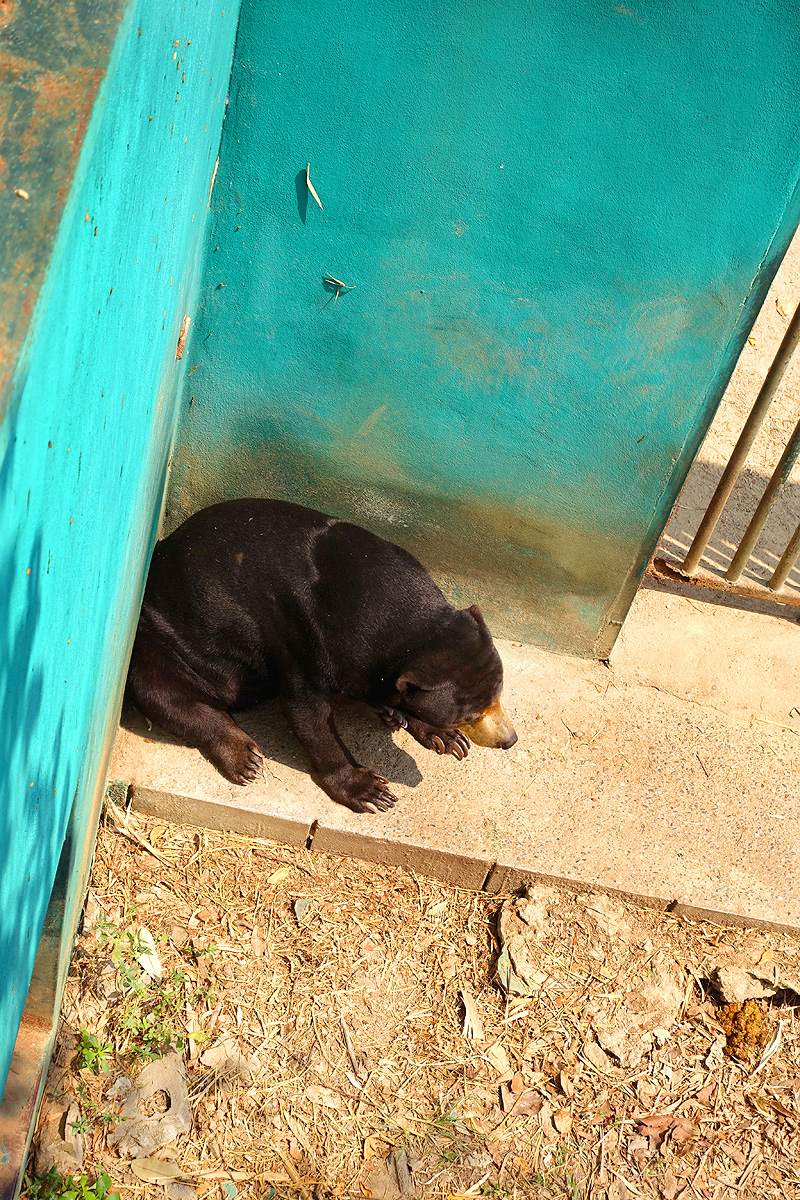 Thailand-WFFT-Sun-Bear-01