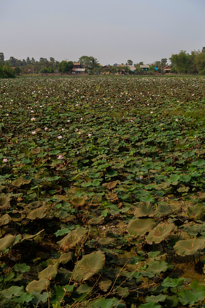 siem-reap-dried-lilypads