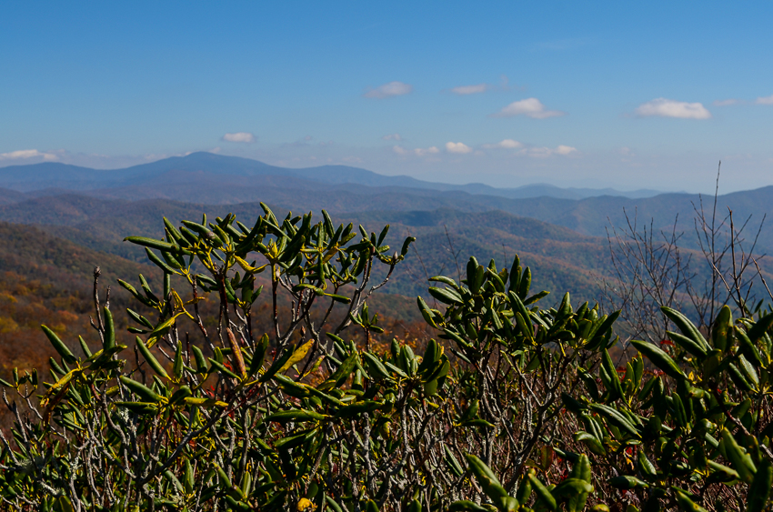 rocky-top-rhododendron