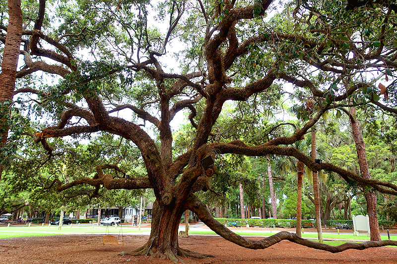 Hilton-Head-Island-Harbor-Town-Live-Oak-Tree