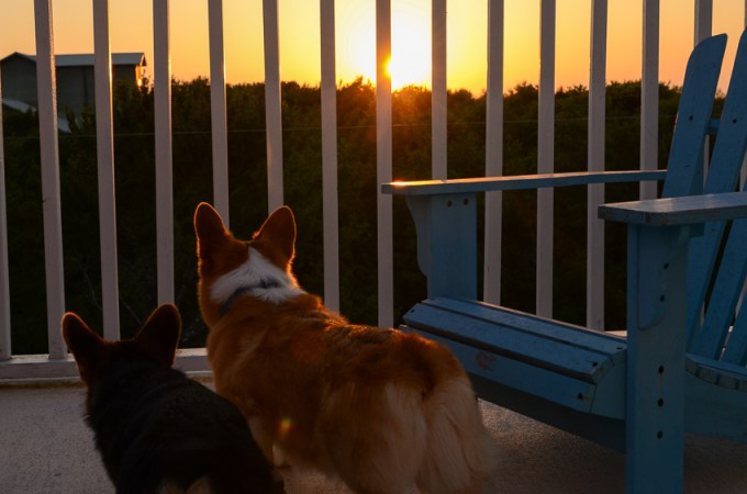 Short legs & big hearts : Life with corgis