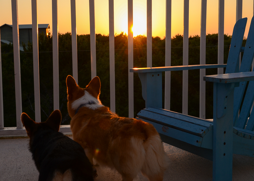 corgis-watch-sunset