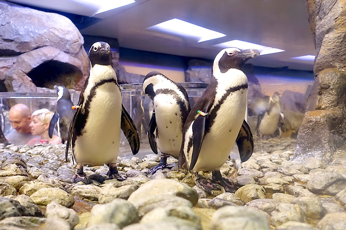 Georgia-Aquarium-Peguins-01