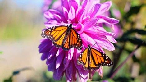 Butterflies Flutter By