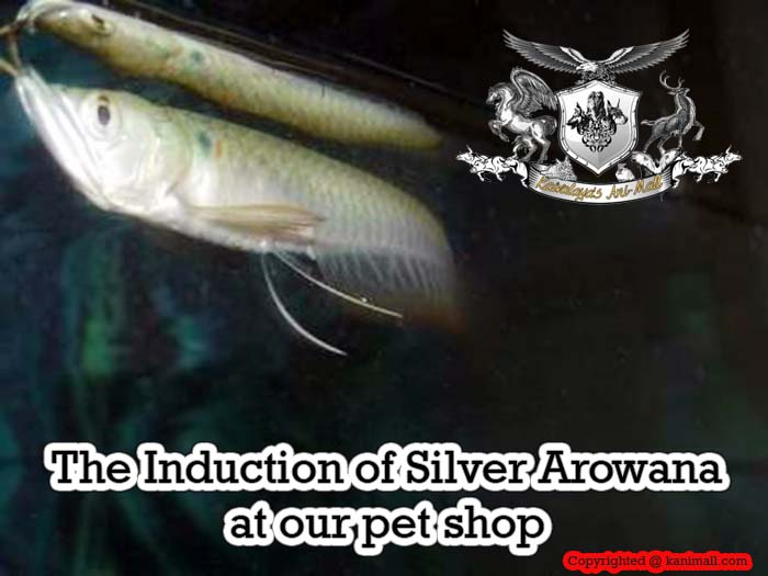 The Induction of Silver Arowana at our pet shop in Jaipur