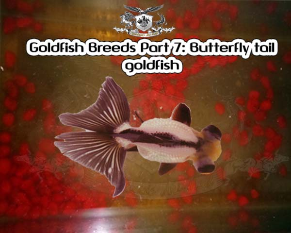 Goldfish Breeds Part 7: Butterfly tail goldfish