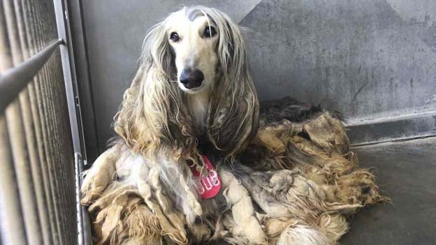 Expenses of rearing an Afghan hound