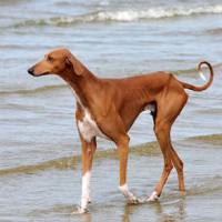 Azawakh: A small introduction to the breed.