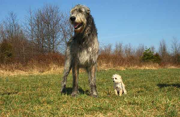 Irish Wolfhound Dog Breed, Height, Size, Puppies, Price in India