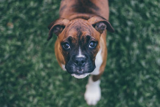 Boxer Top 10 Most Popular Dog Breeds in 2018