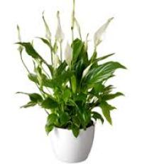 Vaantjesplant, Kantoorplanten