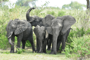 Safari Tanzania - Elephants in Lake Manyara National Park