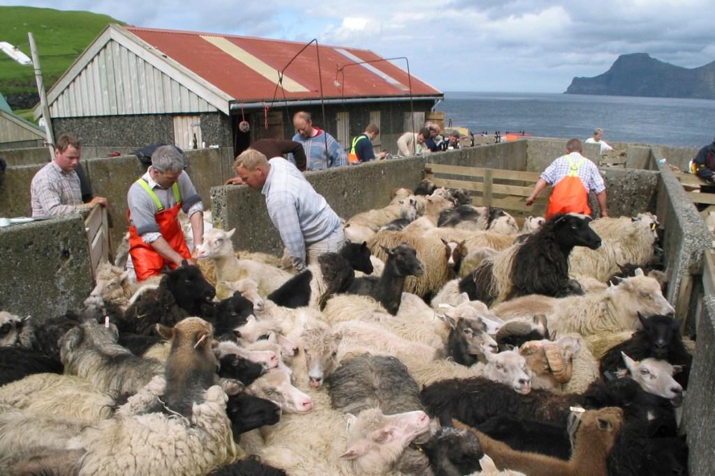 Faeroer Schafscheeren In Gjögv