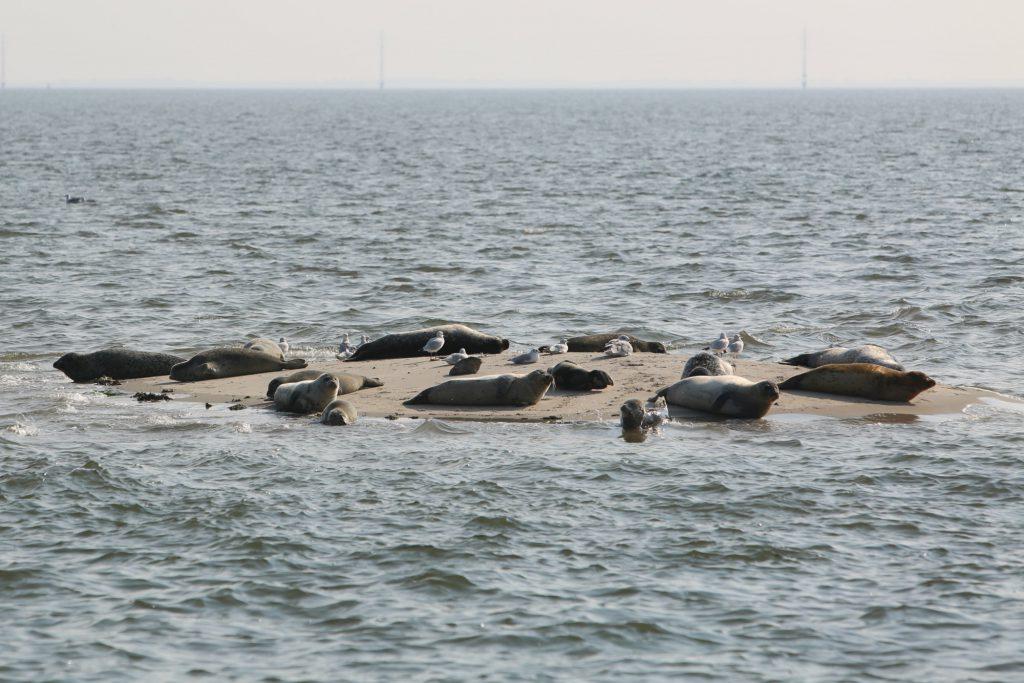 Seehunde auf Sandbank vor Fanø