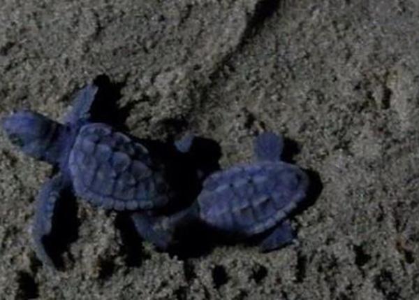 A Salerno la prima schiusa del nido di tartarughe Caretta Caretta