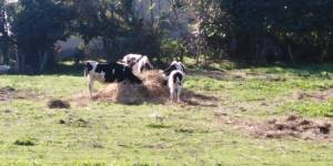 Covid, a Caserta solidarietà contadina per mungere vacche