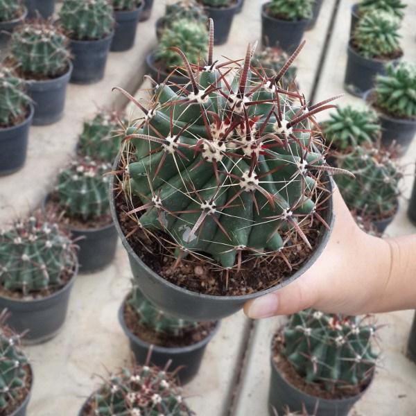 RARE Cactus Seed, Real Fresh Cactus Seed, Ferocactus Seed, 40-120-PCS