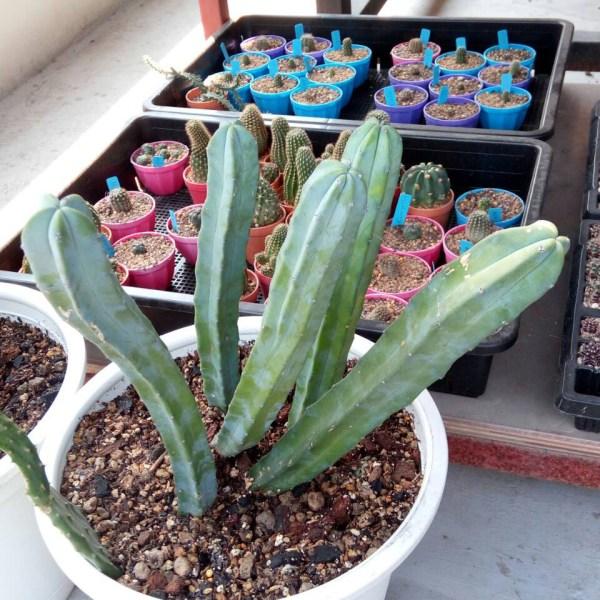 RARE Cactus Plant, Unique Pot, Container, Desktop, Office, Home & Garden Decor, Myrtillocactus Geometricus, BLUE, 40x210-mm, 1-1/2x8-inches (WxH)