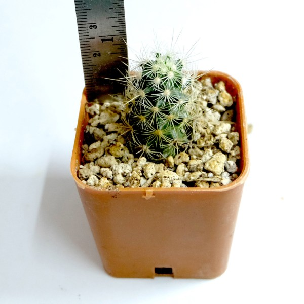 RARE Cactus Plant, Unique Pot, Container, Mammillaria Elongata, 28-mm or 1-inch Height