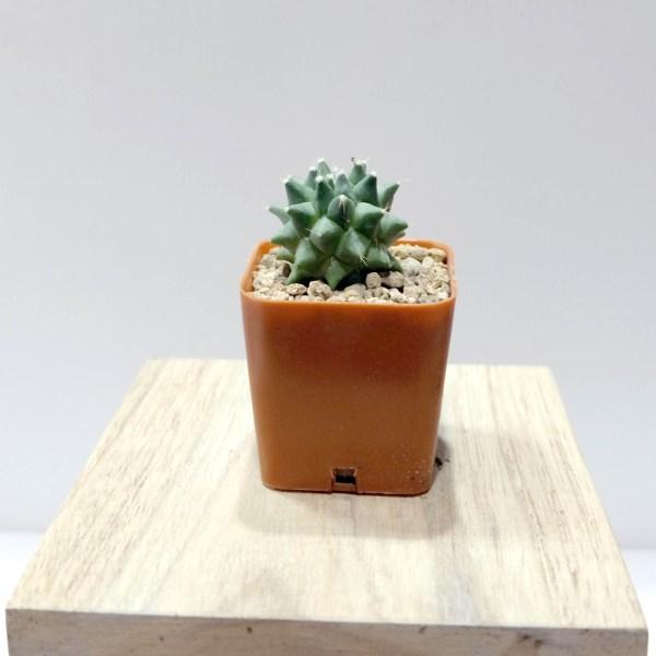 RARE Cactus Plant, Unique Pot, Container, Mammillaria Bucareliensis Cv. Erusamu, 40-mm or 1-1/2-inch Diameter