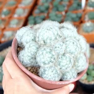 RARE Cactus Plant, Unique Pot, Container, Desktop, Office, Home & Garden Decor, Mammillaria Plumosa, 110 x 80-mm or 4 x 3-inches (W x H)
