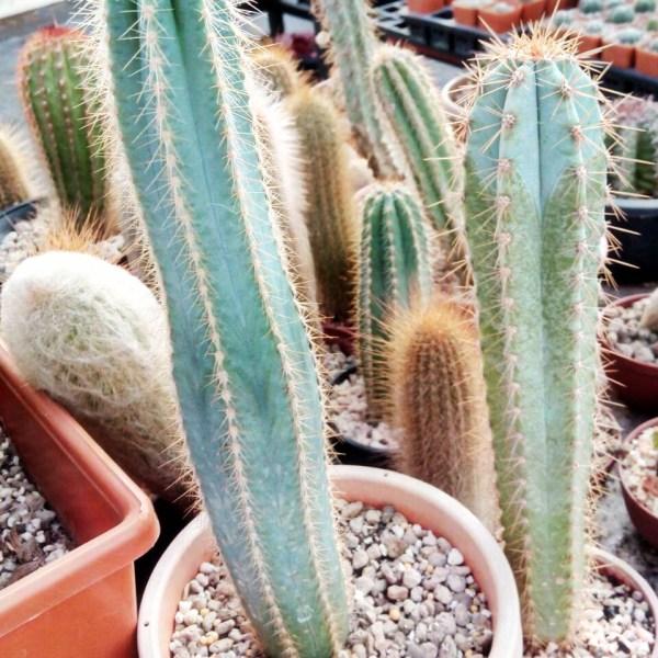 RARE Cactus Plant, Unique Pot, Container, Desktop, Office, Home & Garden Decor, Pilosocereus Azureus, BLUE TORCH CACTUS, 40 x 210-mm, 1-1/2 x 8-inches (W x H)