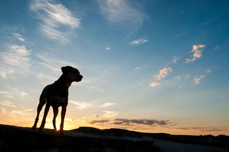 Dog dawn silhouette