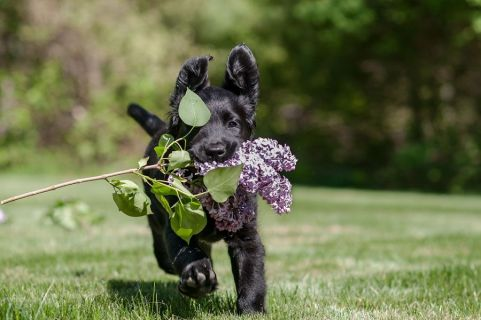 Flat-Coat puppy running with lilac