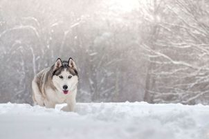 Malamute in snow
