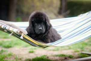 Newfoundland puppy in hammock