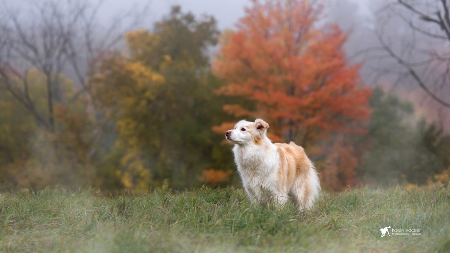 Border Collie in front of red-leafed fall tree on overcast day