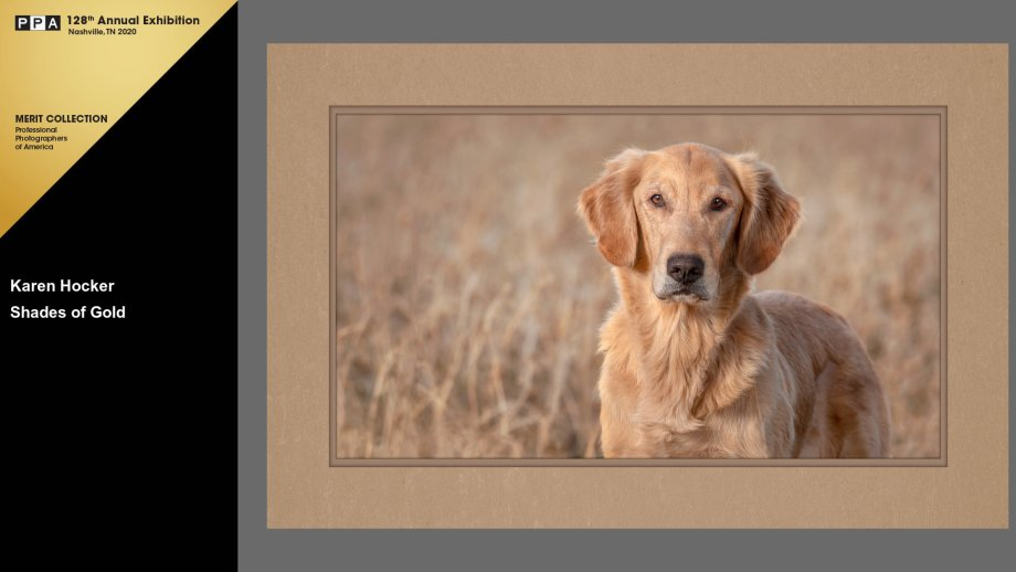 Golden Retriever standing, looking at viewer, with autumn gold plants in background