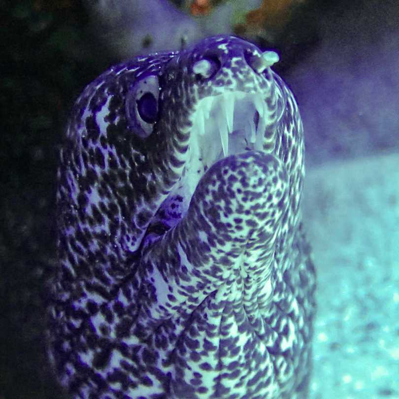 Moray eel shows its teeth