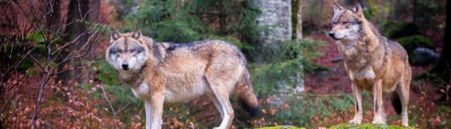 Image décorative : deux loups dans une forêt automnale