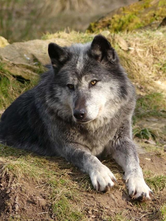 Loup au pelage noir/gris/blanc et au regard doré, en position allongé, tourné vers l'objectif.
