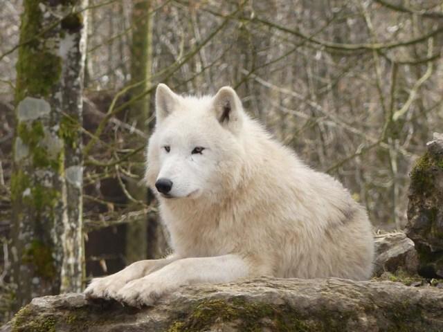 Loup au pelage blanc et au regard ambré, allongé en sphinx, de trois quarts.