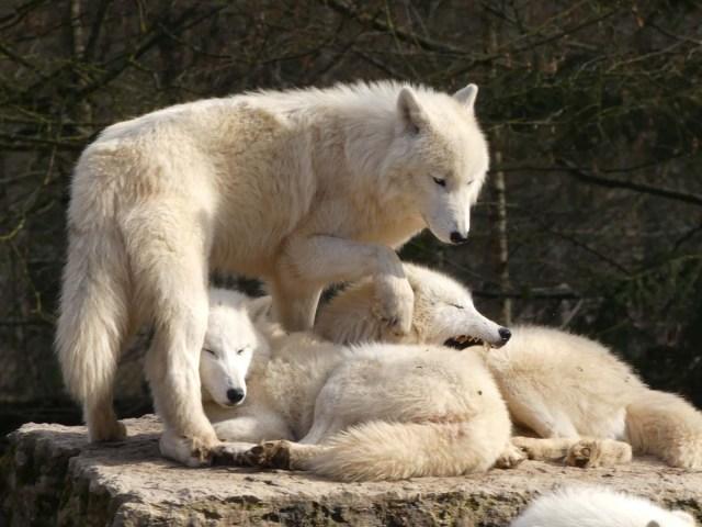 Groupe de trois loups au pelage blanc, deux couchés l'un contre l'autre, le premier les yeux fermés, le second en train de bailler, et le troisième debout au dessus d'eux en train d'essayer de les enjamber.