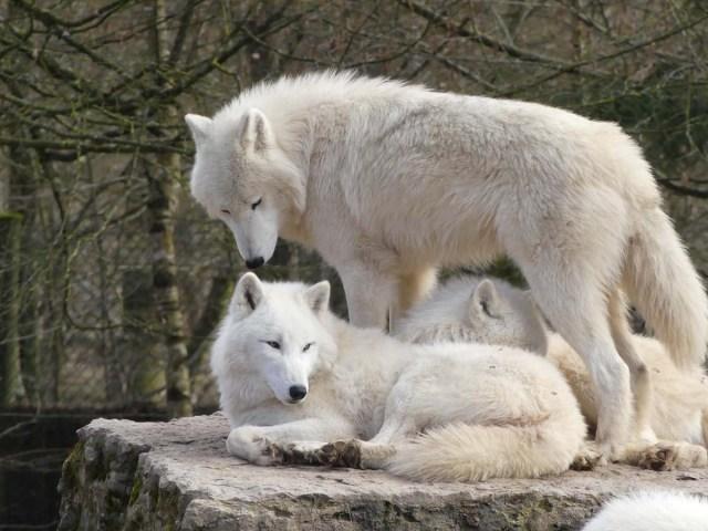 Groupe de trois loups au pelage blanc, deux couchés l'un contre l'autre, le troisème debout au dessus d'eux et semblent renifler l'oreille du premier.