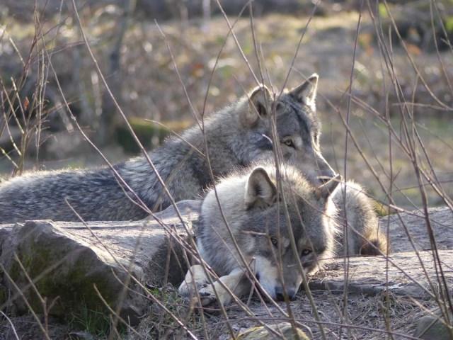Deux loups au pelage gris beige, couchés, l'un regardant vers l'objectif d'un air un peu endormi et l'autre ayant la tête posée sur son dos et regardant vers la droite.