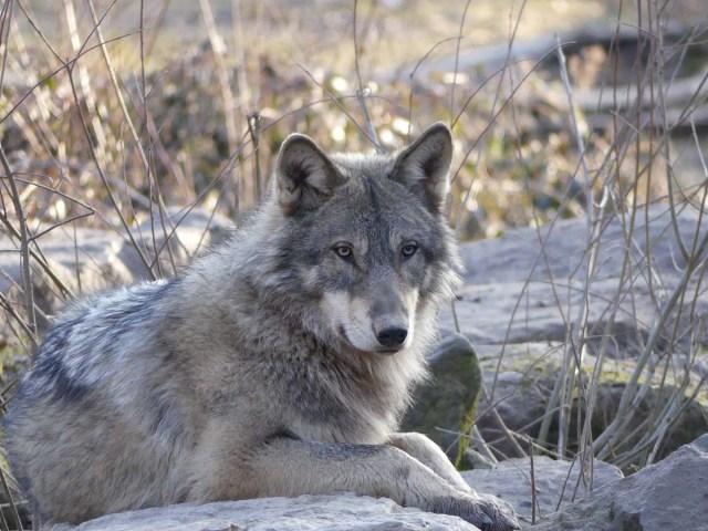 Loup au pelage gris beige et aux yeux jaunes, couché en sphinx, regardant un peu à droite de l'objectif.