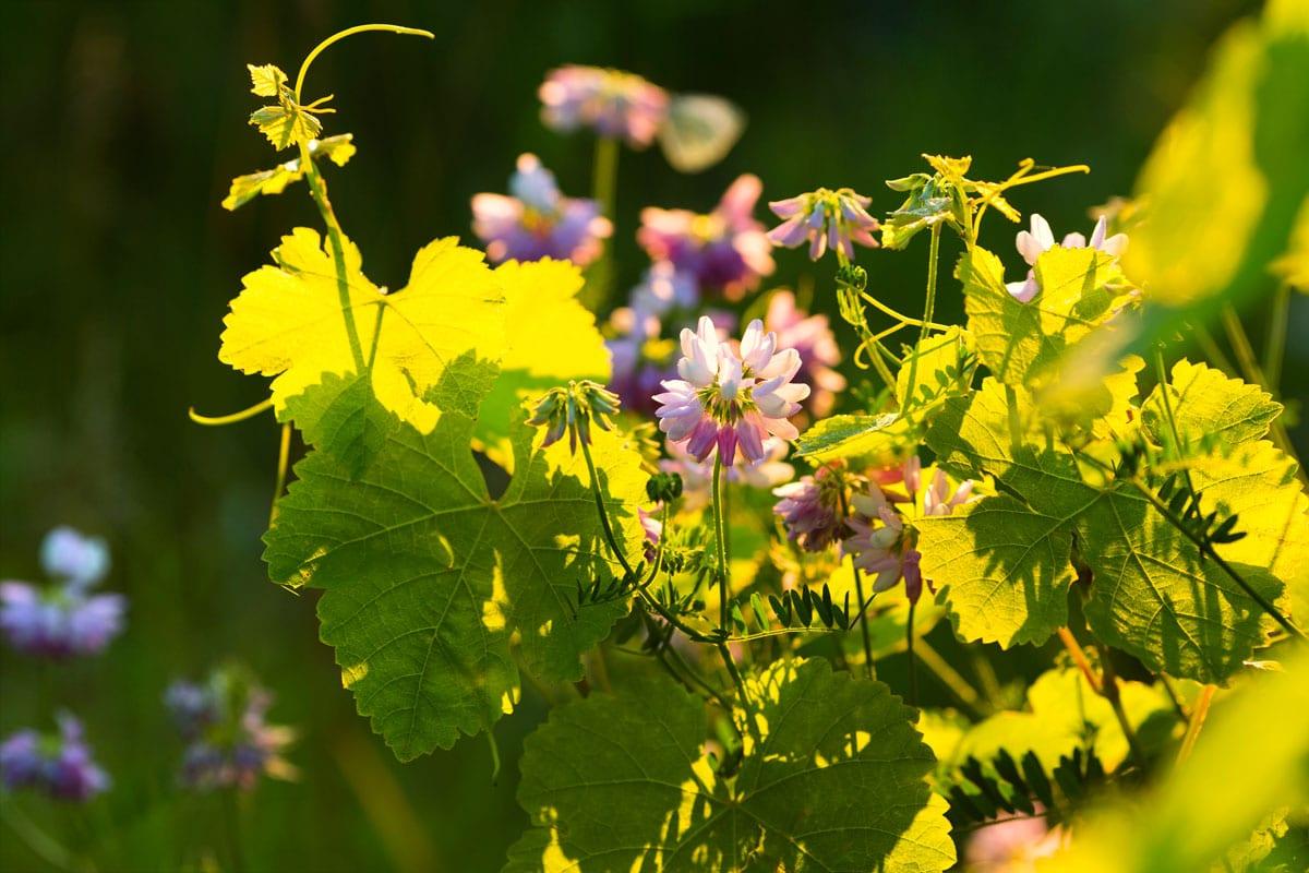 Vignoble d'Ergersheim