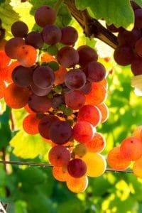 Vin-bio grappe