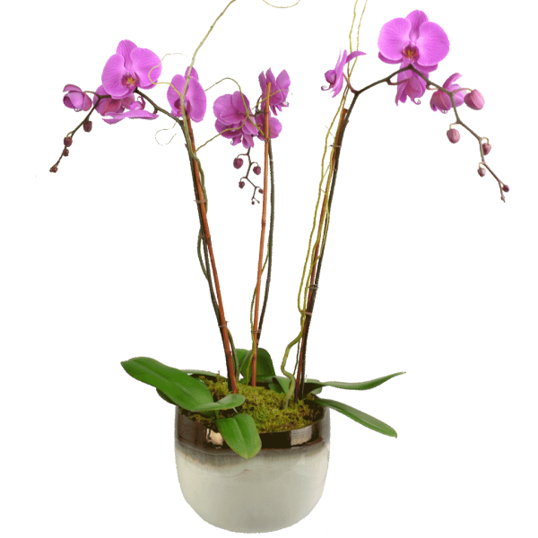Elegant Triple Stem Orchid