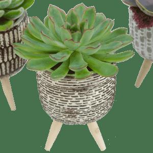 Single Succulent Arrangement