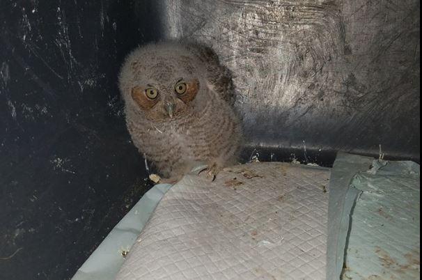 fledge eastern screech owl from south Arkansas Raptor Rehab of Central AR_1528221803883.JPG.jpg