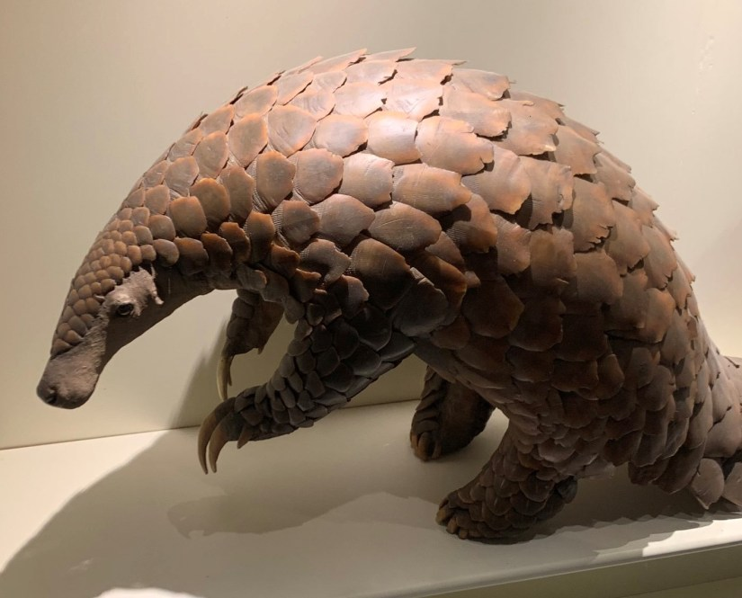 A pangolin inside the natural history museum.